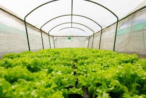 Fog System in Shade House Farming