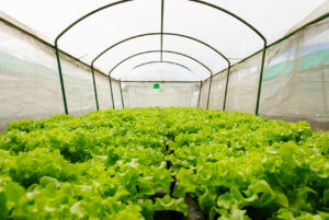 Hydroponic Vegetables in Covered Netting